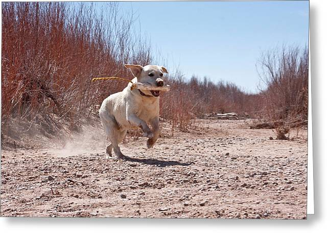 A Yellow Labrador Retriever Running Greeting Card by Zandria Muench Beraldo