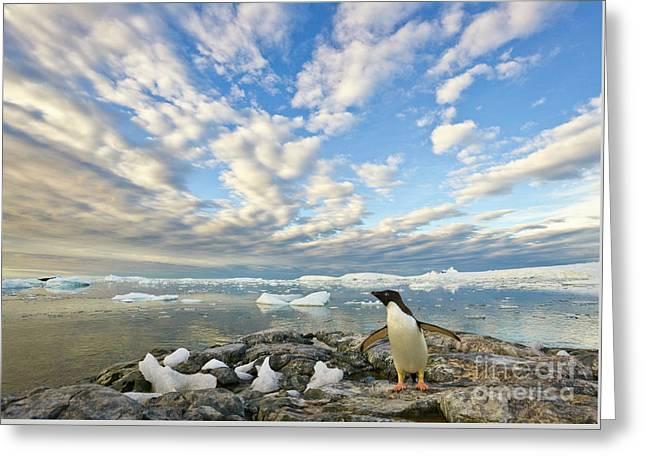 Adelie Penguin Flapping Wings Greeting Card by Yva Momatiuk John Eastcott