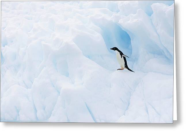 Adelie Penguin On Iceberg Greeting Card by Suzi Eszterhas