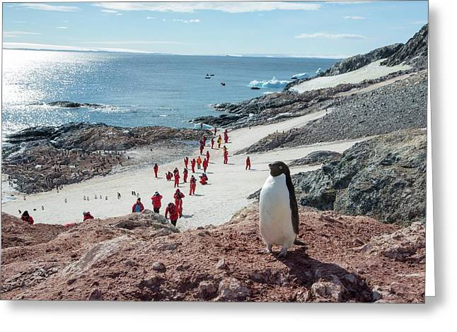 Adelie Penguins Greeting Card by Ashley Cooper