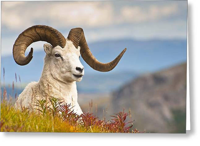 Adult Dall Sheep Ram Resting Greeting Card by Michael Jones