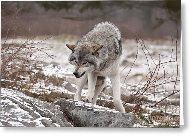 Greeting Card featuring the photograph Adult Timber Wolf by Wolves Only