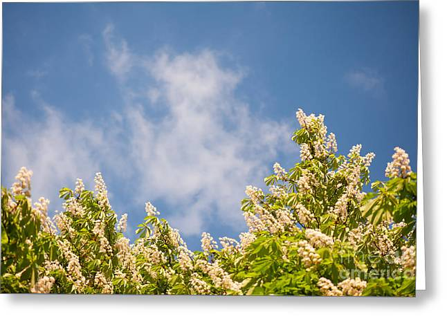 Blossoming Aesculus Tree On Blue Sky  Greeting Card