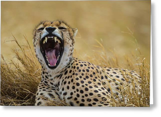 Africa Tanzania Cheetah (acinonyx Greeting Card