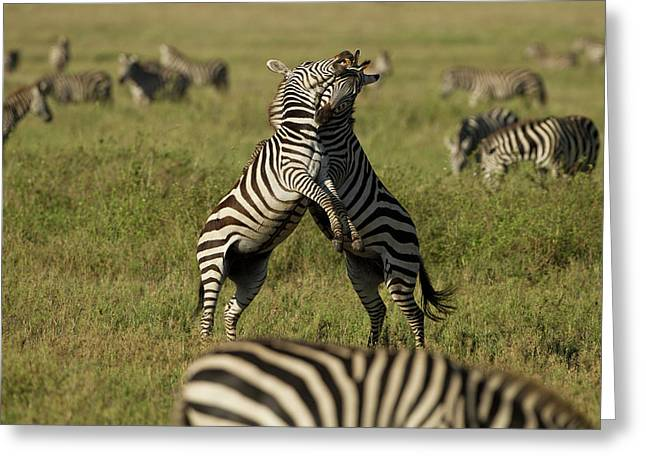 Africa, Tanzania, Serengeti National Greeting Card by Joe and Mary Ann Mcdonald