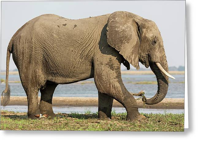 Africa, Zambia Elephant Next To Zambezi Greeting Card