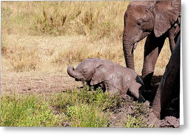 African Elephant Family At A Mud Bath Greeting Card