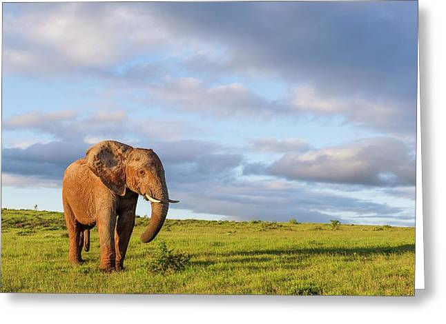 African Elephant In Open Grasslands Greeting Card