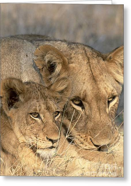 African Lion And Cub Panthera Leo Greeting Card by Art Wolfe