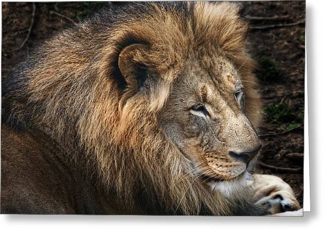 African Lion Greeting Card by Tom Mc Nemar
