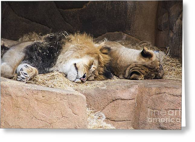 African Lion Greeting Card by Twenty Two North Photography