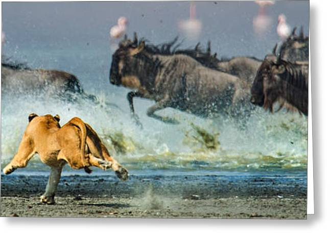 African Lioness Panthera Leo Hunting Greeting Card