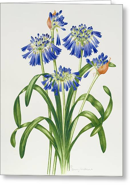 Agapanthus Greeting Card