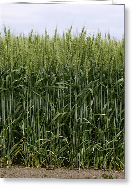Agriculture - Green Wheat  South Greeting Card by Jim Gipe