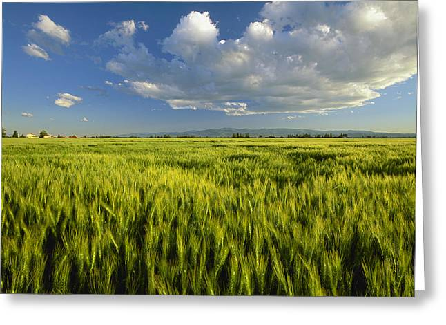 Agriculture - Maturing Green Wheat Greeting Card by Chuck Haney