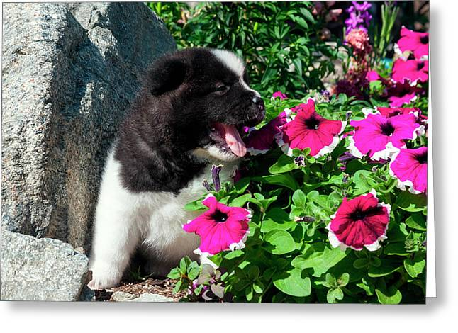 Akita Puppy In The Flowers (mr & Pr Greeting Card