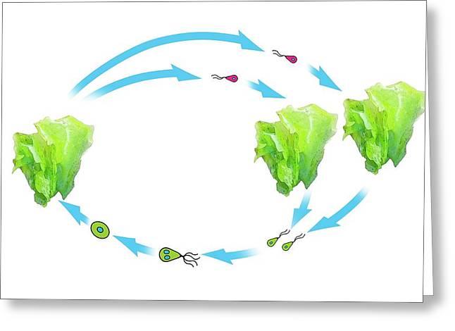 Algae And Plant Life-cycle Greeting Card
