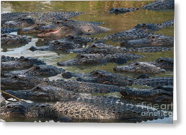 Alligators Greeting Card
