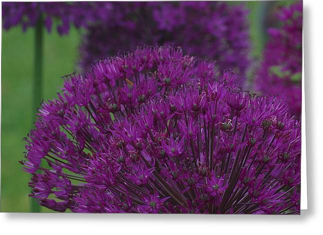 Allium 2 Greeting Card