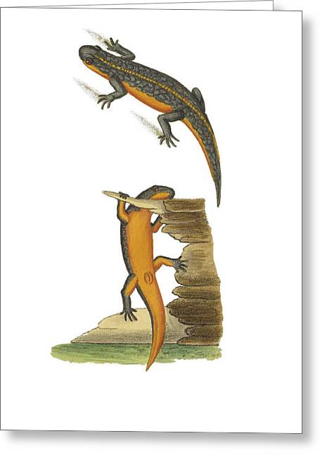 Alpine Newt Greeting Card