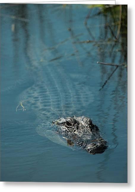 American Alligator (alligator Greeting Card by Pete Oxford