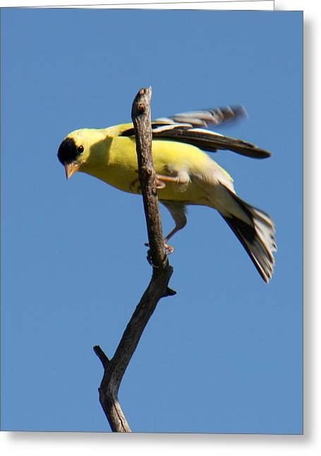 American Goldfinch Greeting Card by Bob and Jan Shriner