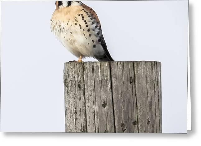 American Kestrel Greeting Card by Ricky L Jones
