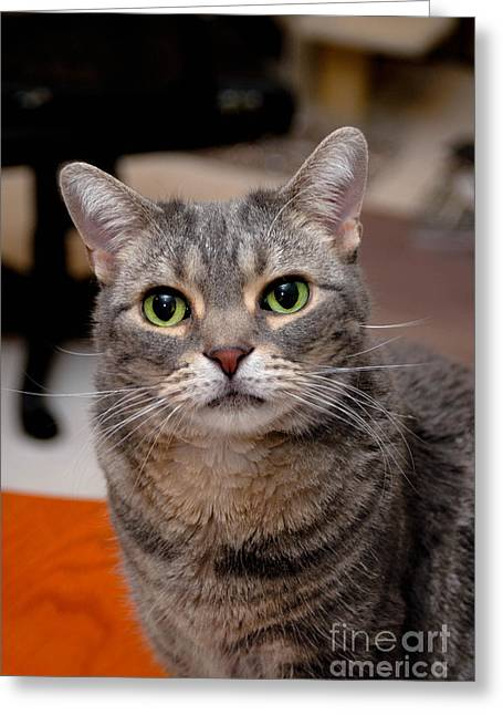 American Shorthair Cat Portrait Greeting Card
