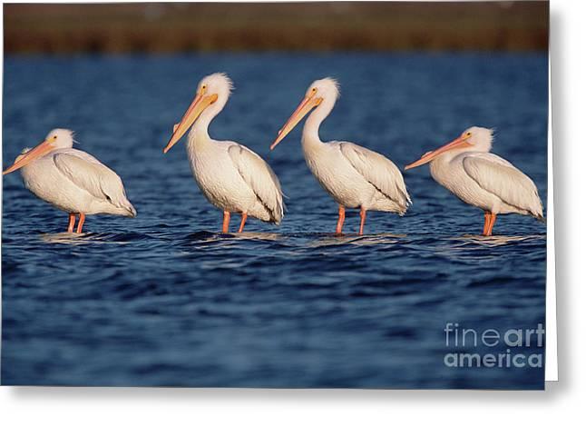 American White Pelicans  Greeting Card by Yva Momatiuk John Eastcott