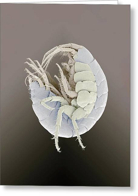 Amphipod Crustacean Greeting Card by Petr Jan Juracka
