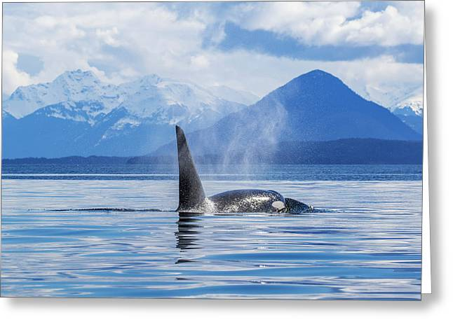 An Orca Whale  Killer Whale   Orcinus Greeting Card