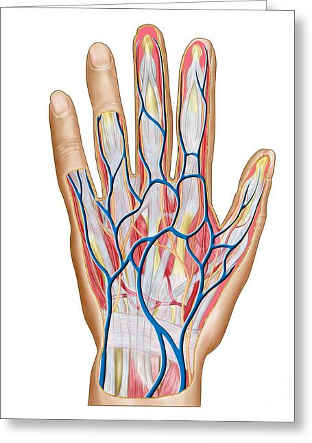 Anatomy Of Back Of Human Hand Greeting Card