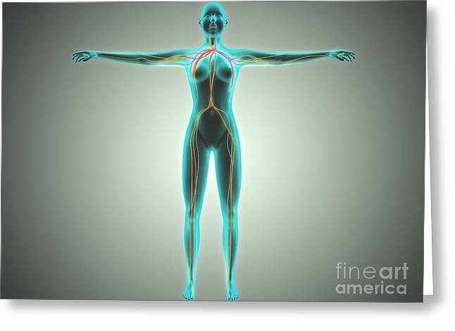 Anatomy Of Female Body With Arteries Greeting Card by Stocktrek Images
