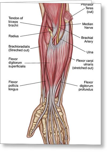 Anatomy Of Forearm Muscles, Anterior Greeting Card by Stocktrek Images