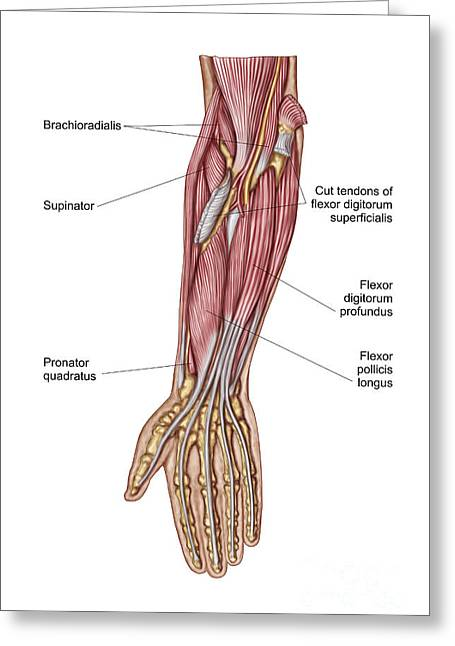 Anatomy Of Human Forearm Muscles, Deep Greeting Card by Stocktrek Images