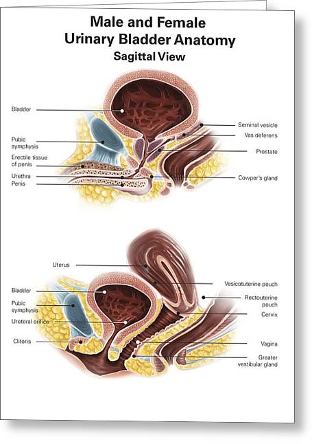 Anatomy Of Male And Female Urinary Greeting Card by Alan Gesek
