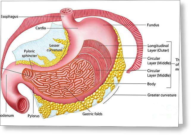 Anatomy Of The Human Stomach Greeting Card by Stocktrek Images