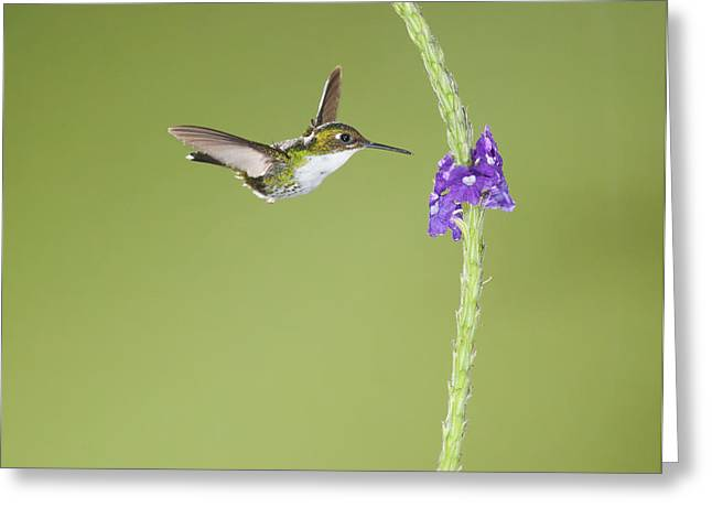 Andean Emerald Hummingbird Greeting Card by Dan Suzio