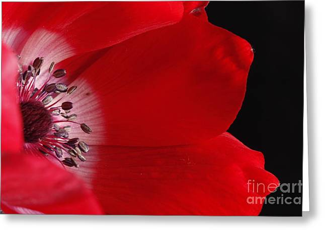 Anemone Greeting Card by Rebeka Dove