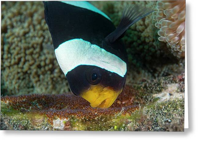 Anemonefish Guarding Eggs Greeting Card by Scubazoo
