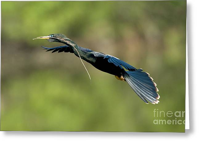 Anhinga Greeting Card by Anthony Mercieca