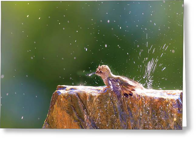Anna's Hummingbird Taking A Shower Greeting Card