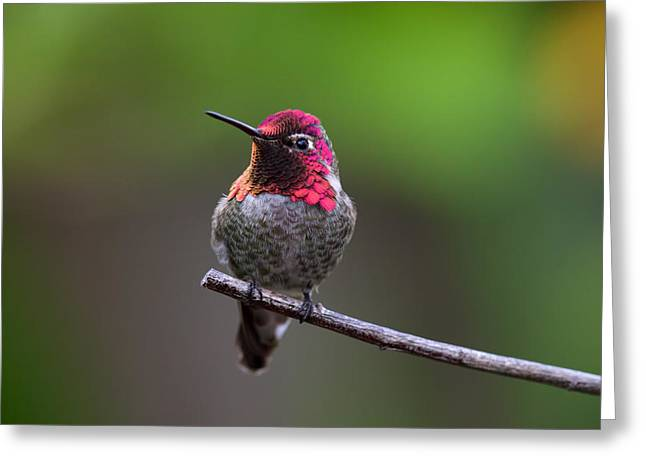 Anna's Hummingbird Greeting Card by Thy Bun