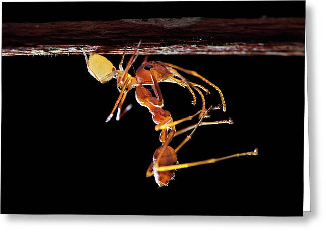 Ant-mimic Crab Spider With Prey Greeting Card by Melvyn Yeo