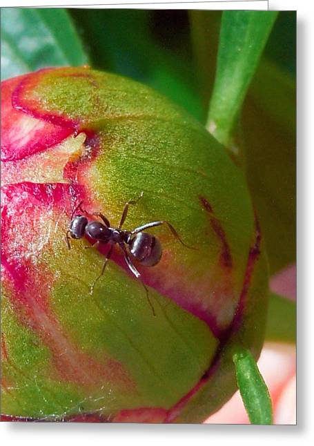 Ant On Peony Bud Greeting Card by Barb Baker