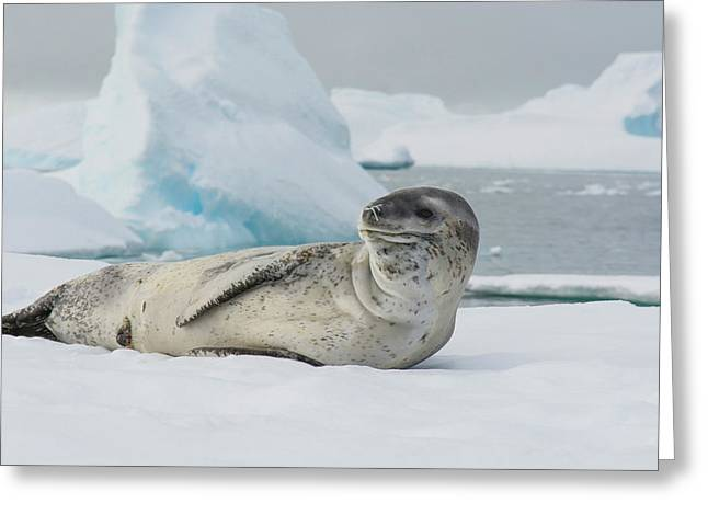 Antarctica Charlotte Bay Leopard Seal Greeting Card
