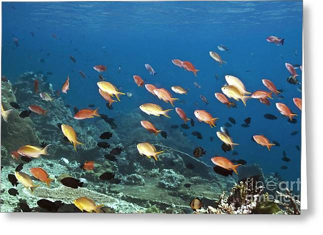 Anthias Swimming Over A Reef Greeting Card