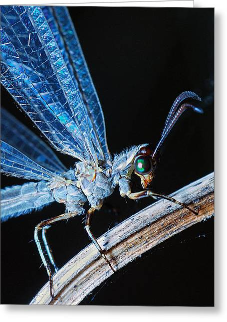 Antlion Greeting Card
