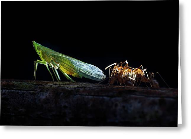 Ants Milking A Planthopper Greeting Card by Melvyn Yeo