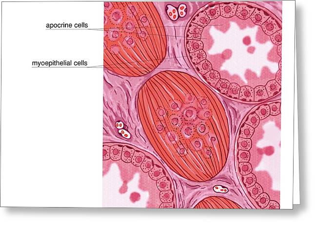 Apocrine Sweat Glands Greeting Card by Asklepios Medical Atlas